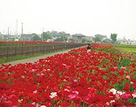 関東最古の鷲宮神社とポピー咲き誇る久喜の道(埼玉県久喜市)