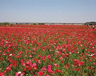 歴史散策と日本一のポピー畑を歩く「花まつり」めぐり(埼玉県鴻巣市)