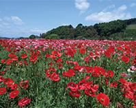 咲き誇る300万本のポピーと奥州街道歴史散策~きつれがわ~(栃木県さくら市)