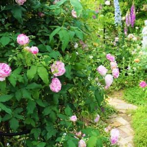 こんな薔薇さん迎えました(´∀`*)
