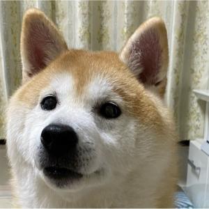 はなちゃん、おやつナイスキャッチの練習に励んでおります#犬 #イヌ #dog #柴...