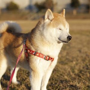 まぶしぃ〜EOS R6RF50mm F1.8 STM#犬 #イヌ #dog #柴...