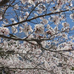 お花見2020、コロナの中でも桜は咲きます。