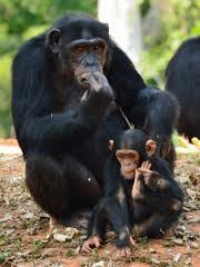 「チンパンジーの子育て」からの進化