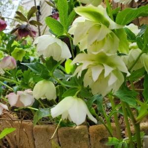 なかむらピアノ教室 春めいて庭先の花