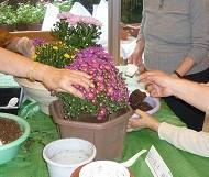 菊の寄せ植え、ミントの定植