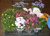 菊の寄せ植え、葉ボタン苗の移植