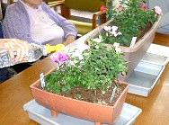 ミニバラ、ガーデンシクラメンの寄せ植え