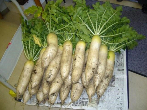 大根の収穫、試食会