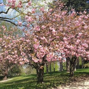 満開の八重桜がキレイでした♪