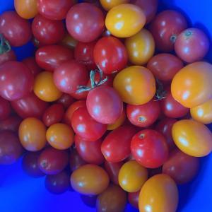 トマト大量収穫〜