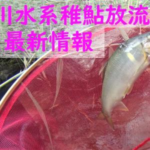 2019年 球磨川水系稚鮎放流情報 5/14