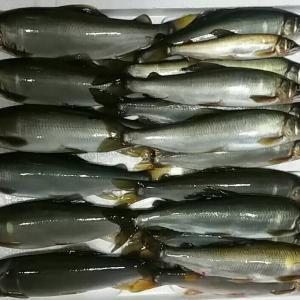 球磨川、川辺川2019鮎釣り解禁 釣果情報