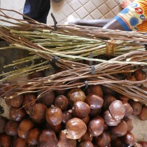 西アフリカで歯ブラシに使う枝
