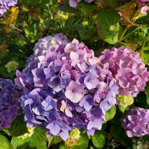 ピグらいふ 紫陽花とタイル