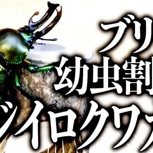 ニジイロ幼虫割り出し(YouTube)