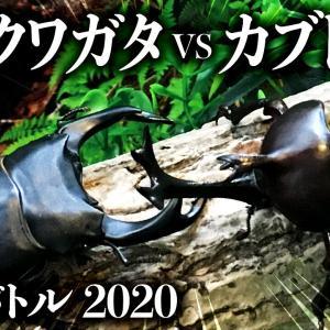 【昆虫バトル】オオクワガタvsカブトムシ2戦