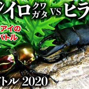 【昆虫バトル】ニジイロクワガタvsヒラタクワガタ