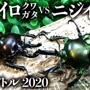 【昆虫バトル】ニジイロクワガタ紫紺vsニジイロクワガタグリーン
