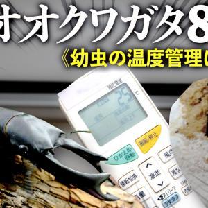 オオクワガタで85mmオーバーを出す方法<幼虫の温度管理について>