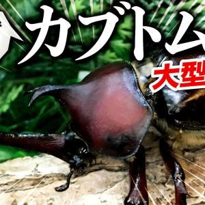 採集してきたカブトムシ!とれた幼虫をクワガタの残飯で育てた結果・・・