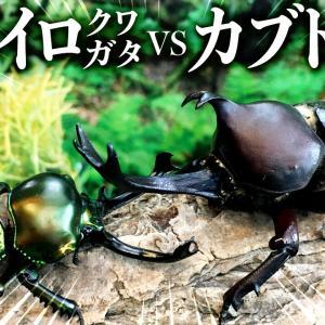 【昆虫バトル】ニジイロクワガタvsカブトムシ