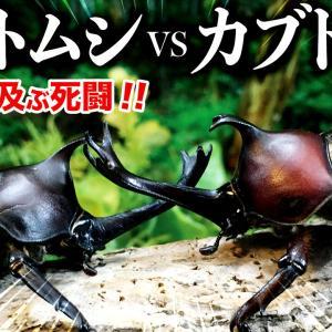 【昆虫バトル】カブトムシ同士の死闘!