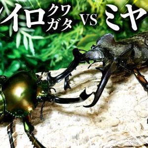 【昆虫バトル】ニジイロクワガタvsミヤマクワガタ