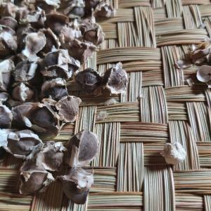マダガスカル軟禁生活日記 その285 スーパーフード・モリンガの種の味や効果とシシトウのトマト煮込み