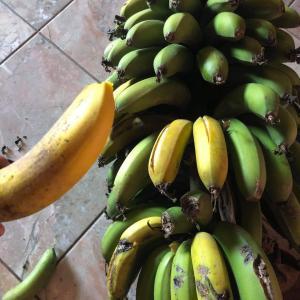 マダガスカル軟禁生活日記 その287 モリンガのクッキーとココナッツからオイル作りとバナナフライ