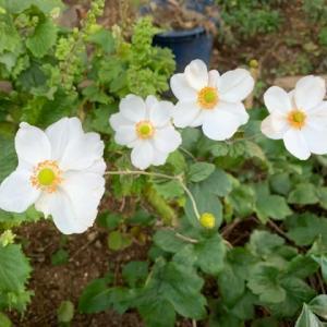 オサンポ walk - 植物plant: 花の蜜 flower nectar