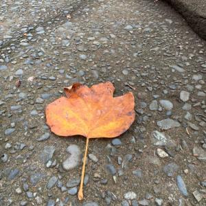 オサンポ walk - 植物plant: 落ち葉 a fallen leaf