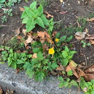 オサンポ walk - 植物plant: タンポポ…ポ? I saw many dandelions