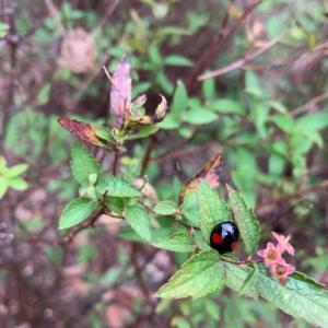 オサンポ walk - 虫bug: カマ・たま&てんとう虫 Mantis's eggs and a lady beetle