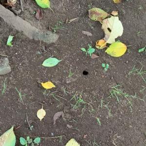 オサンポ walk - 虫bug : セミの穴 a hole belongs to a cicada on the ground