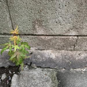 オサンポ walk - スキマ草Plant : もしかしてカニクサ? →モドキ君 I'm going to watch this plant