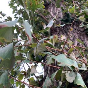 オサンポ walk - 植物plant: 銀杏も心配 I'm also worried about these gingko