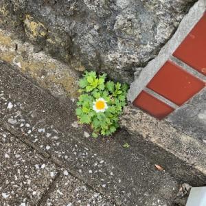 オサンポ walk - スキマ草Plant : スキマ草な日々 everyday, Sukima-soh