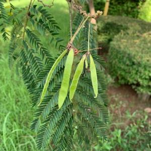 オサンポ walk - 植物plant : 合歓の木も咲き始め a silk tree started to bloom---そしてタネ seeds
