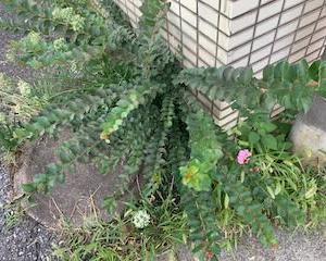 オサンポ walk - スキマ草Plant : スキマ草なサルスベリ(?) a crape myrtle living in a gap