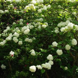 No  175  庭の花