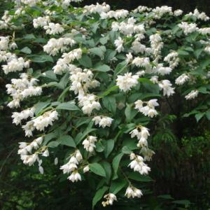 No 179  新緑の剣山と登山道の花たち