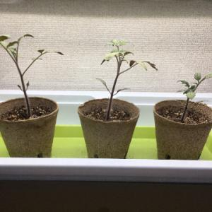 大玉トマト、止むを得ず定植へ
