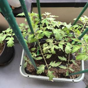 大玉トマト、雪の被害とバジルを播種