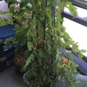 大玉トマト、初収穫は399g