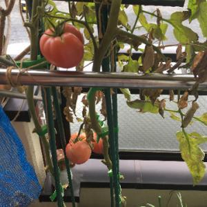 大玉トマト、うどん粉病に完敗、撤収へ