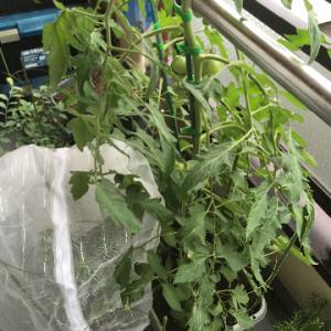 中玉トマト&バジル、初収穫と尻腐れ