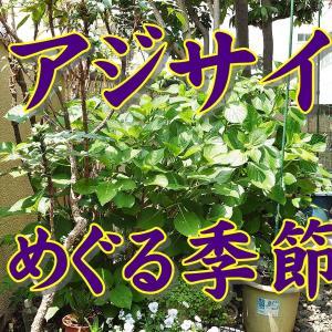 紫陽花 剪定&お礼肥 2020