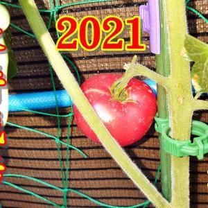 水耕栽培 トマト 収穫 2021 Part 1