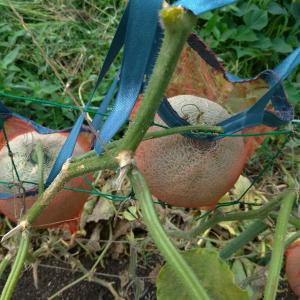 畑のメロンはメロンらしくなってきました